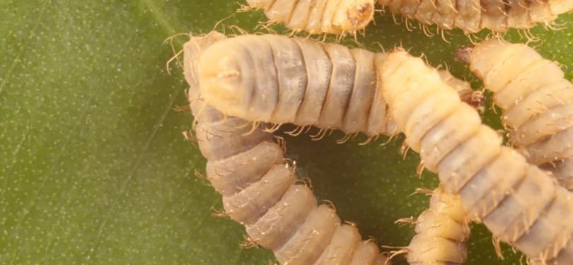 larve mosca soldato