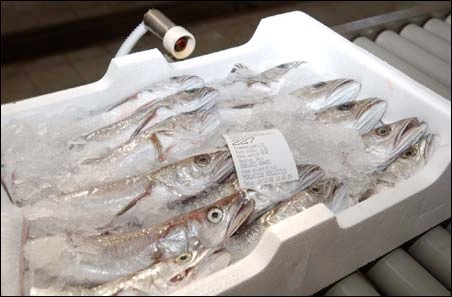 pesce cassette palctica